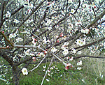 Cherry_tree_2013_march_1st