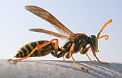Asian_wasp