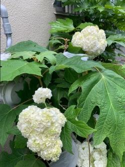 Shinochan-hydrangea-may29th2021